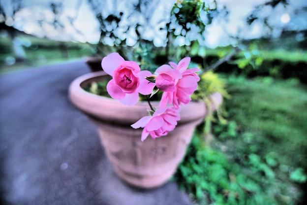 夏に入り薔薇の焦点心に刻む