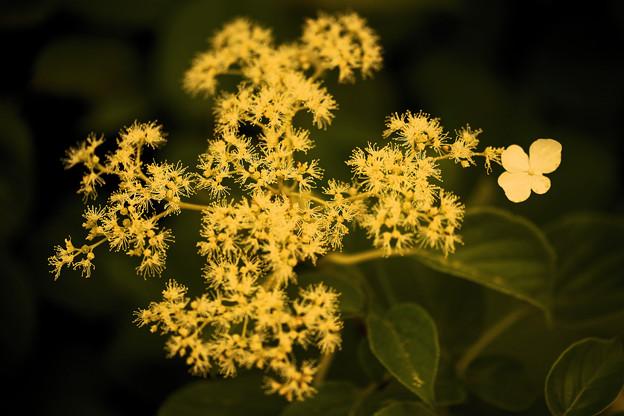 藤黄の額紫陽花は鐘の色
