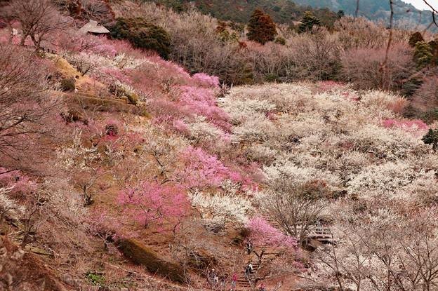 写真: 咲くには咲いたが1