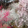 写真: 咲くには咲いたが3