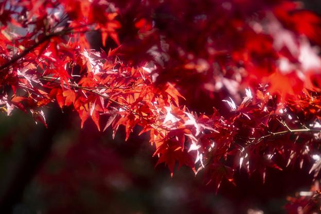 紅葉の輝き