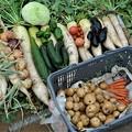 今季・夏野菜初収穫