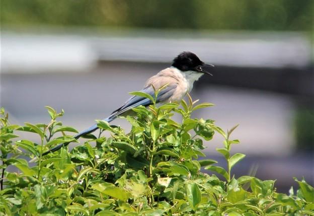 猛暑40℃の野鳥たちは・・・