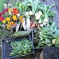 Photos: 11月3日収穫