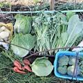 写真: 11月29日菜園収穫