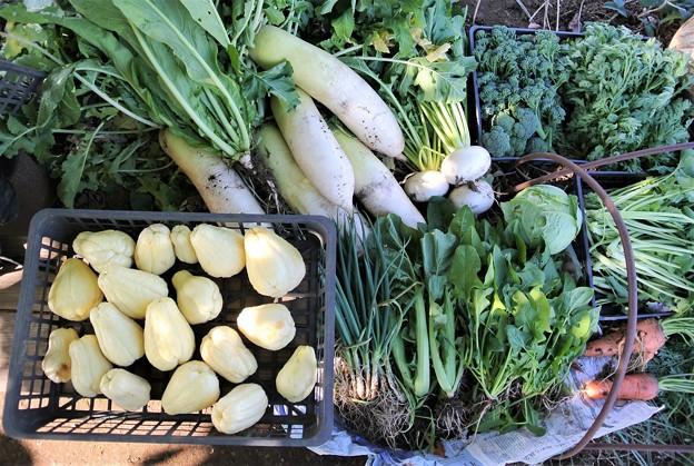 12月8日の菜園収獲