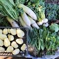 写真: 12月8日の菜園収獲