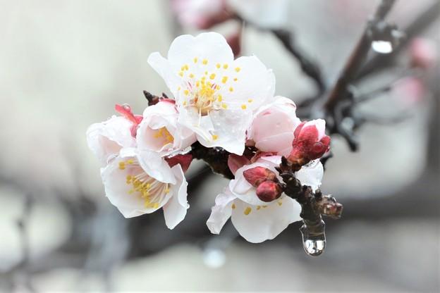 春の雨雫となって新芽ふくらむ