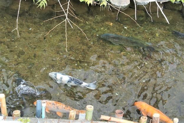 用水路は魚の宝庫