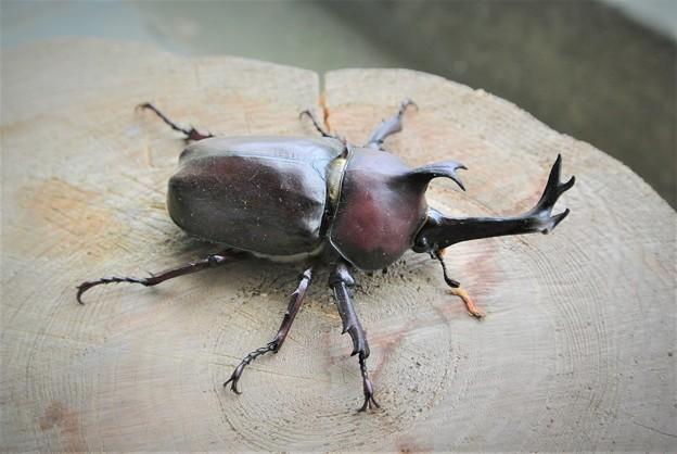 大きくて色も綺麗なカブトムシ♂