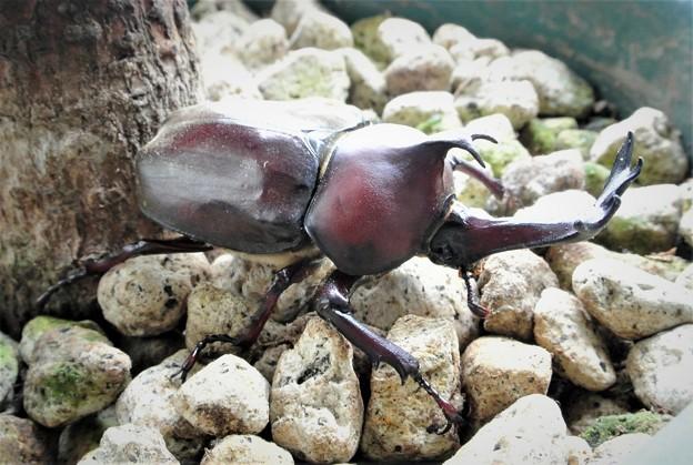 鉢石の上のカブトムシ