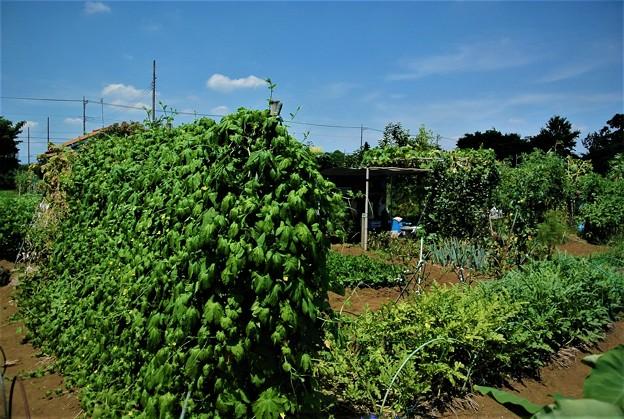 菜園猛暑の空