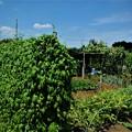 Photos: 菜園猛暑の空