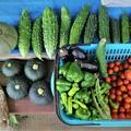 Photos: 第8回夏野菜収獲