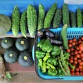 第8回夏野菜収獲