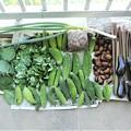 第十四回夏野菜収獲