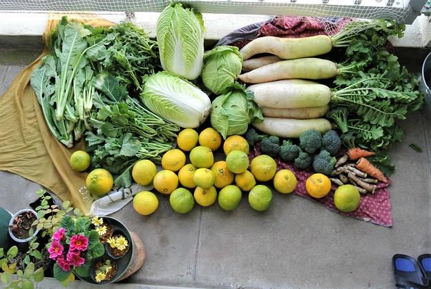 12月14日・冬野菜収穫(ベランダにて)