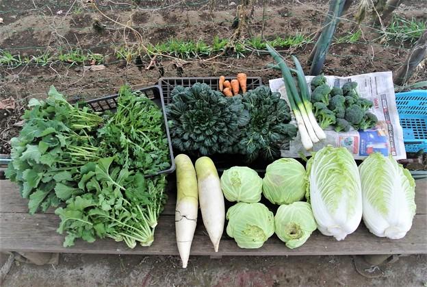 12月22日の菜園収穫