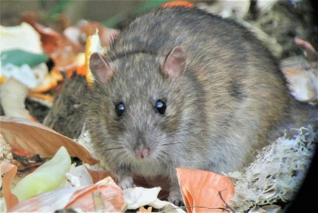 クマネズミ(ネズミ年に初見初撮りネズミ・菜園ゴミ箱)