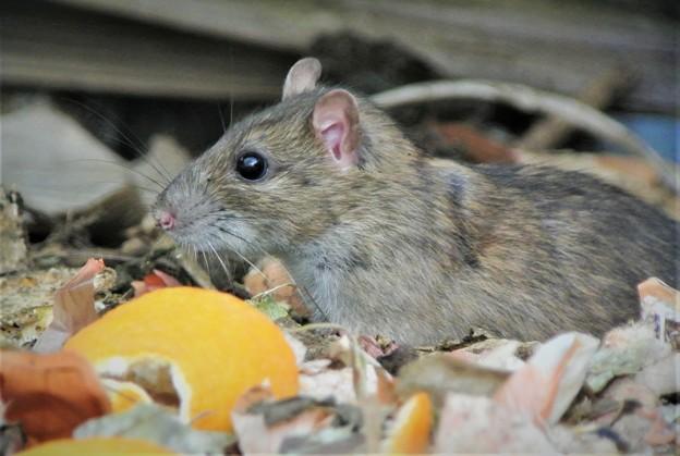 クマネズミ(ネズミ年の超サプライズ・菜園ゴミ箱)