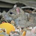 Photos: クマネズミ(ネズミ年の超サプライズ・菜園ゴミ箱)