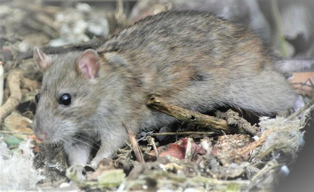 クマネズミ(ネズミ年のサプライズはネズミ)