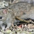 Photos: クマネズミ(ネズミ年のサプライズはネズミ)
