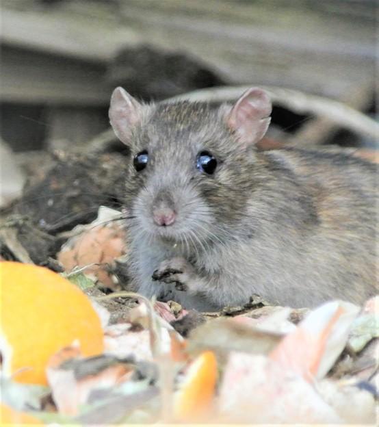 クマネズミ(ネズミ年のサプライズはネズミ.)
