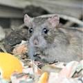 Photos: クマネズミ(ネズミ年のサプライズはネズミ.)