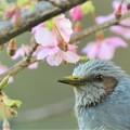 Photos: ヒヨドリ・河津桜と・・