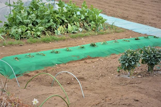 畝作りから苗植えまで完了