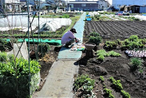 ジャガイモ植え込み作業中