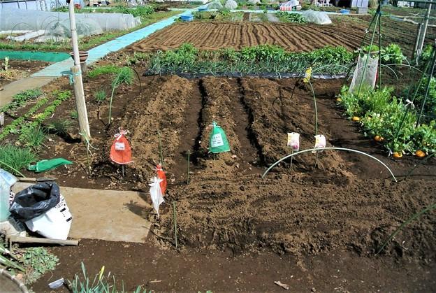ジャガイモ植え込み終了