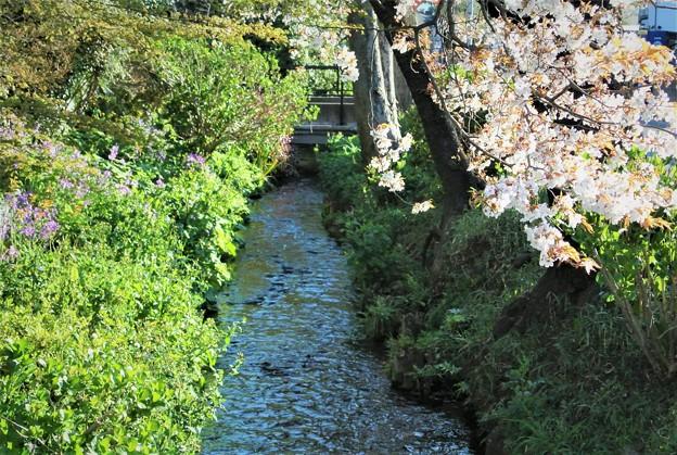 桜咲く用水路
