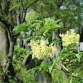 Photos: ニワトコの花
