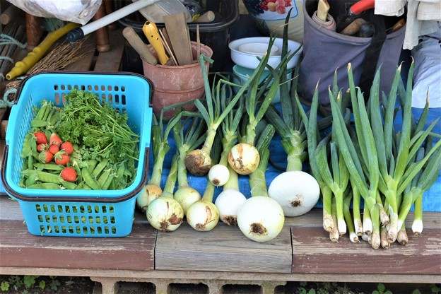 5月13日春野菜と間引き収穫