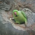 Photos: 巣穴から出て行くワカケホンセイインコ