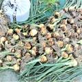 タマネギ全収穫