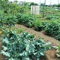 菜園・夏野菜全景とジャガイモ畑