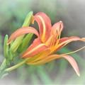 Photos: 用水路にも咲き始めた「キスゲ」。と書きましたが「ノカンゾウ」でした。