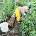 小雨混じりのジャガイモ掘り