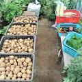 菜園全収穫