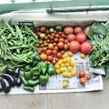 7月9日の収穫