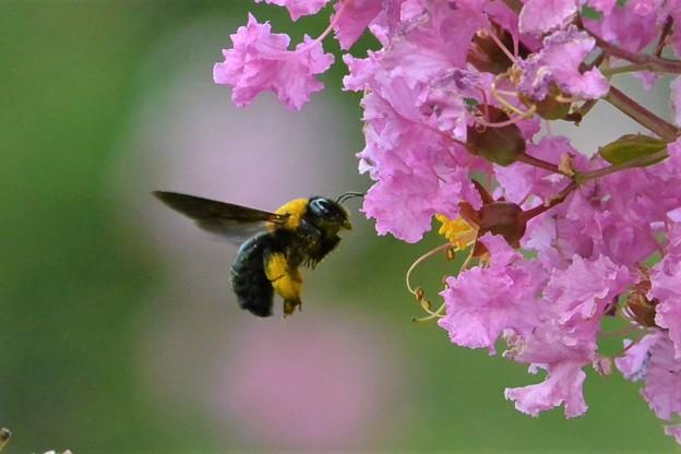 クマバチと百日紅の花