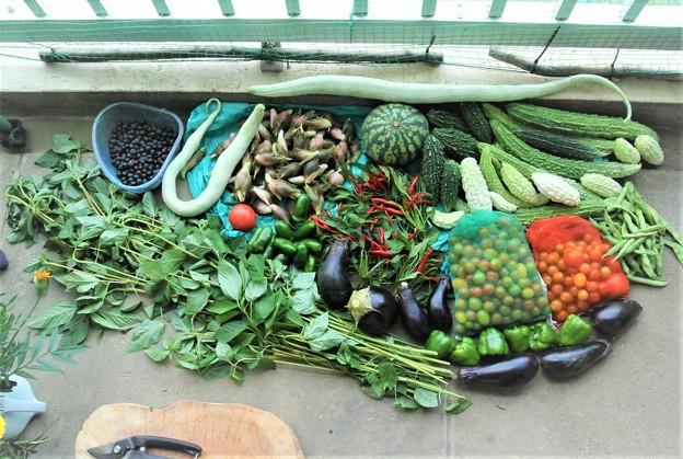 8月14日夏野菜収穫