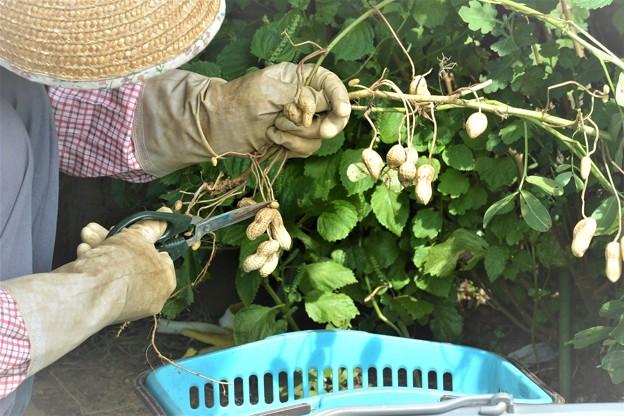 ラッカセイ収穫は家内の担当.