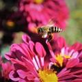 Photos: 菊とミツバチ