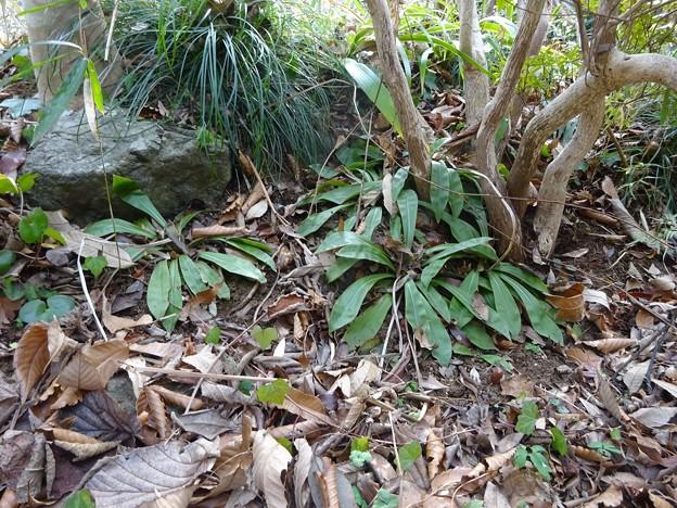 ショウジョウバカマの芽