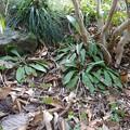写真: ショウジョウバカマの芽
