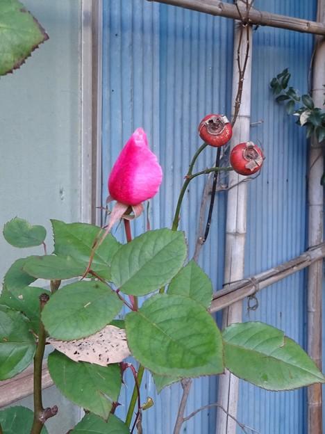 咲けないバラ